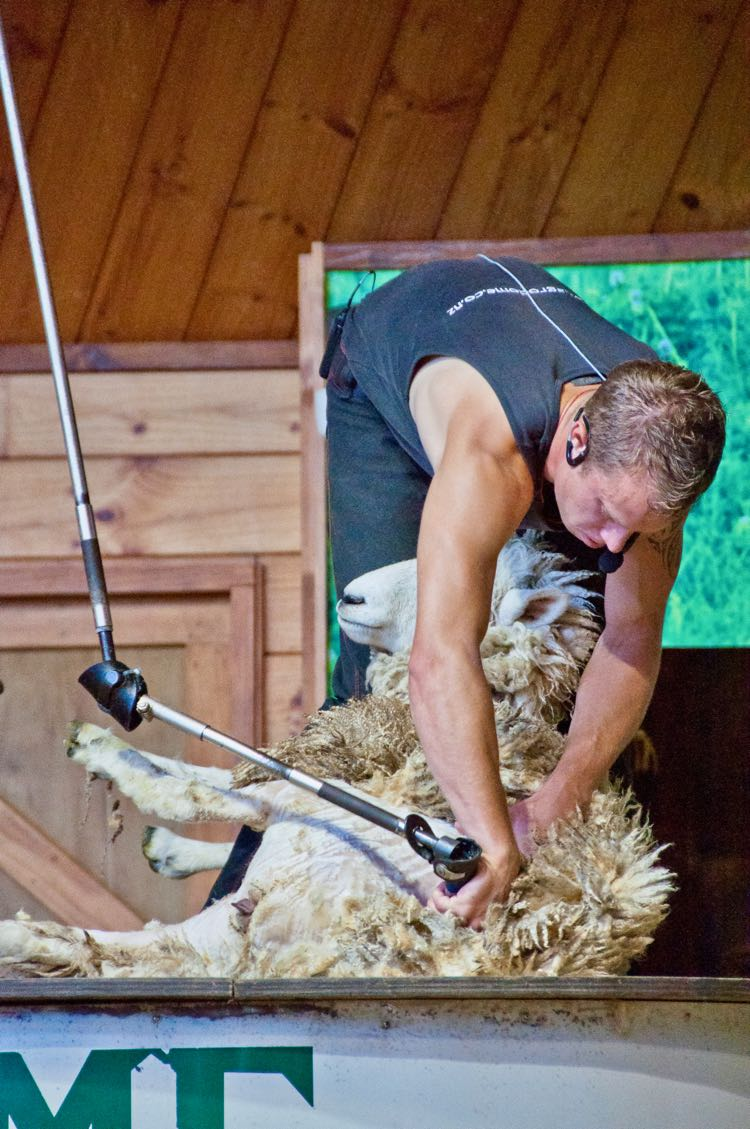 sheep shearing in New Zealand