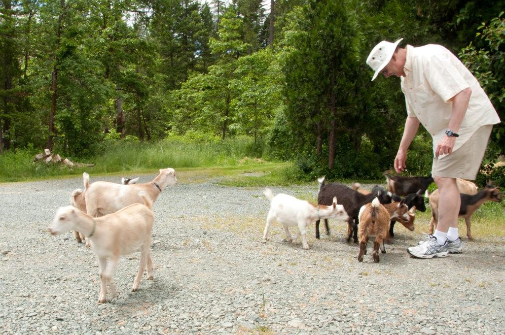 Pygmy goats at farm in Oregon